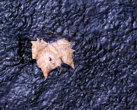 Leaf in Rippled Stream