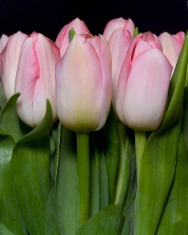 Cump of Tulips