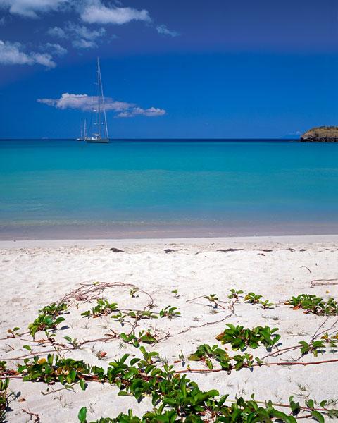 Sea Grapes in Aruba