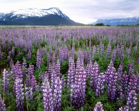 Lupines in Alaska