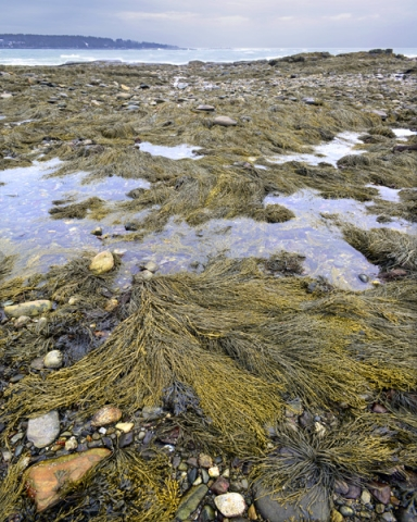 Seaweed Shoreline